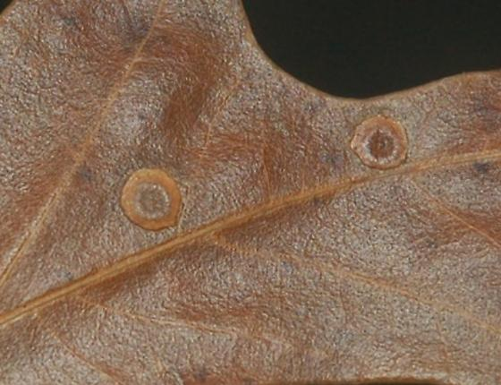 St. Andrews leaf galls on Quercus falcata SA_G36 2015 4