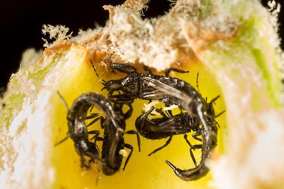 Tube-tailed thrips - Torvothrips kosztarabi