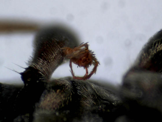 Parasitic mite on beetle