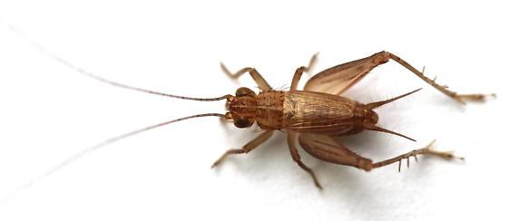 Falcicula hebardi - male