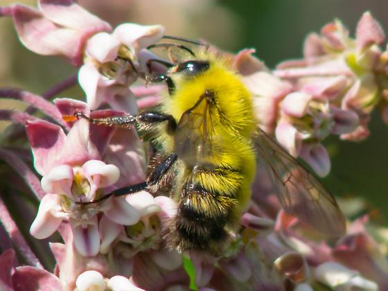 Yellow bumble bee - Bombus perplexus