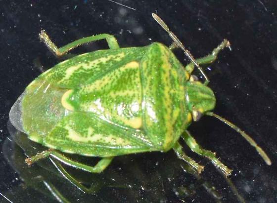 Stink Bug - Banasa euchlora