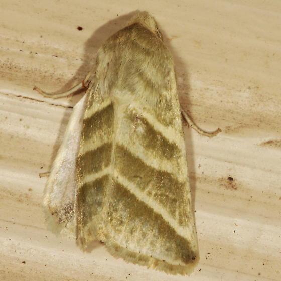 Subflexus Straw Moth - Chloridea subflexa