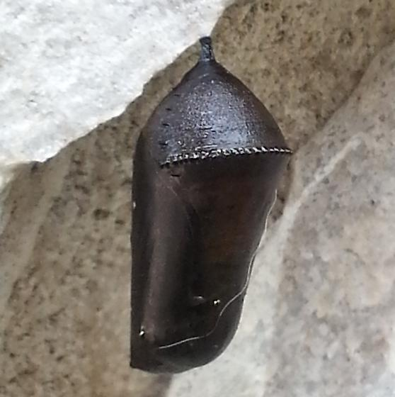 Black chrysalis - Danaus
