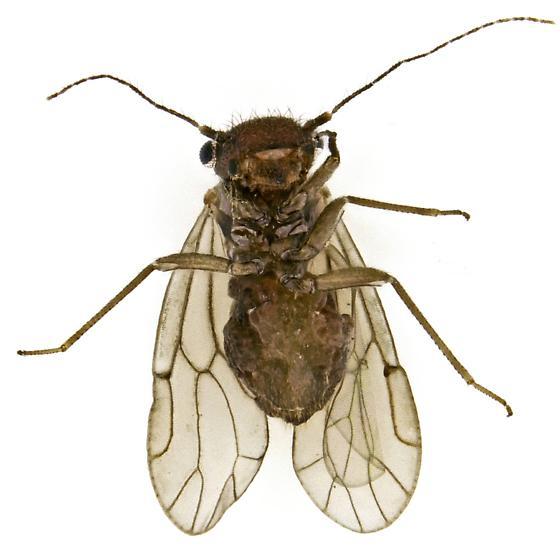 Psocid? - Ectopsocus vachoni