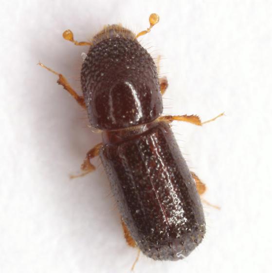 Xyleborus pfeili (Ratzeburg) - Xyleborus pfeili
