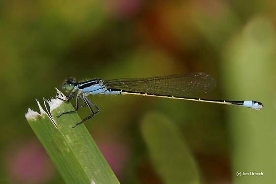 Damselfly Male-like - Ischnura ramburii - female