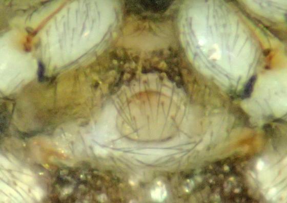 E. formosa immature female - Euryopis formosa - female