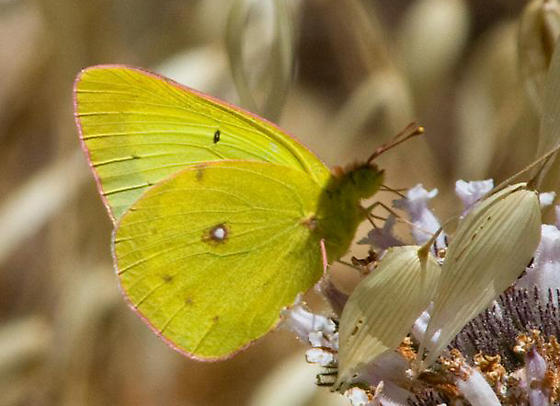 Harford's Sulphur - Colias harfordii - male