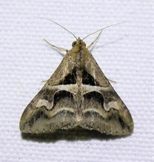 8601      Cellar Melipotis    (Melipotis cellaris)   - Melipotis cellaris