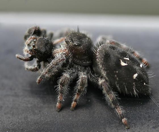 Bold Jumper - Phidippus audax - female
