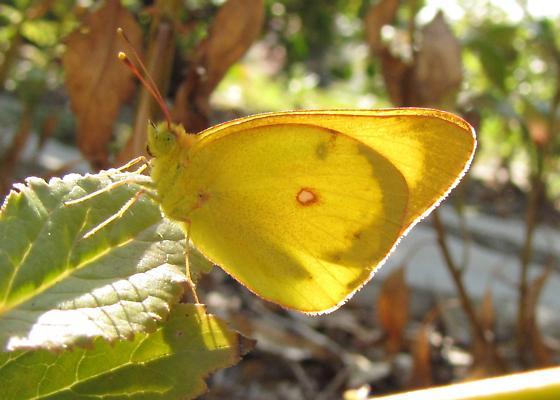 Sulphur butterfly - Colias harfordii - male