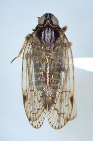Cixiid - Melanoliarus
