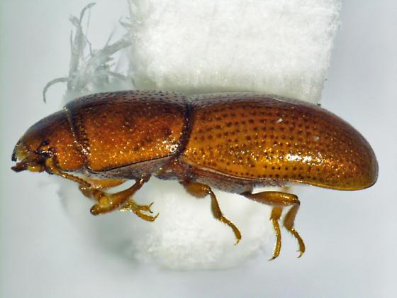 Aglenus brunneus (Gyllenhaal) - Aglenus brunneus