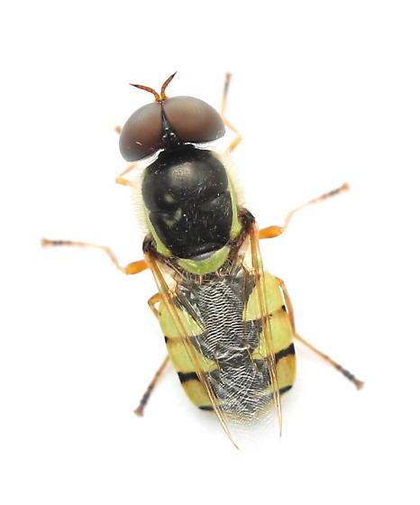Odontomyia cincta - male