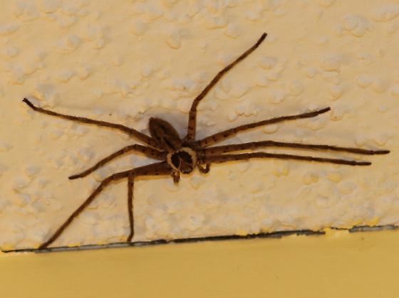 Spider - Heteropoda venatoria