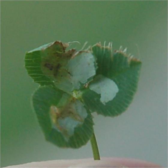 Pelham road Durham NC leaf miner on Trifolium repens 2015 1 - Porphyrosela minuta