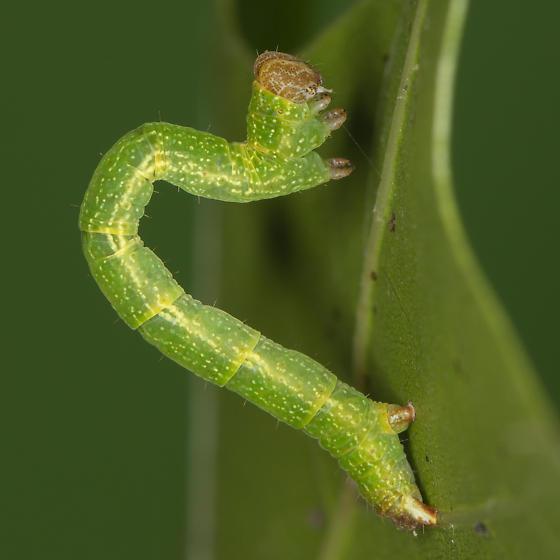 Cyclophora packardi - female
