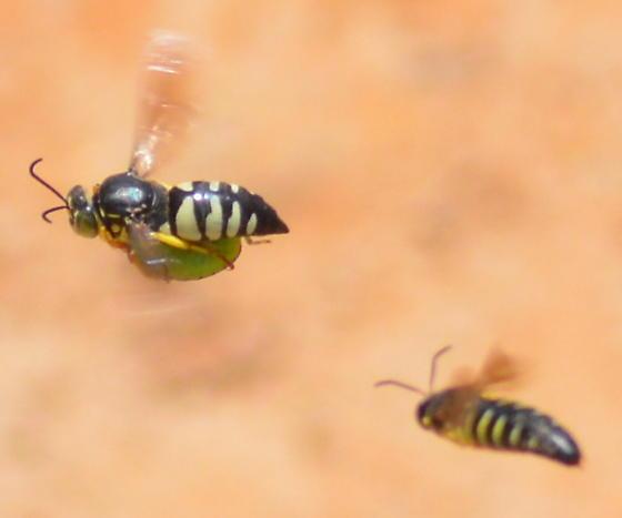 Bicyrtes quadrifasciatus, Dog fighting over a stink bug - Bicyrtes quadrifasciatus - female