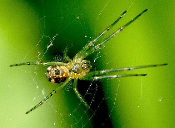 spider - Leucauge venusta?? - Leucauge venusta