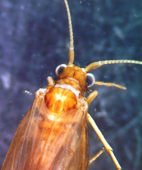 Goera - female