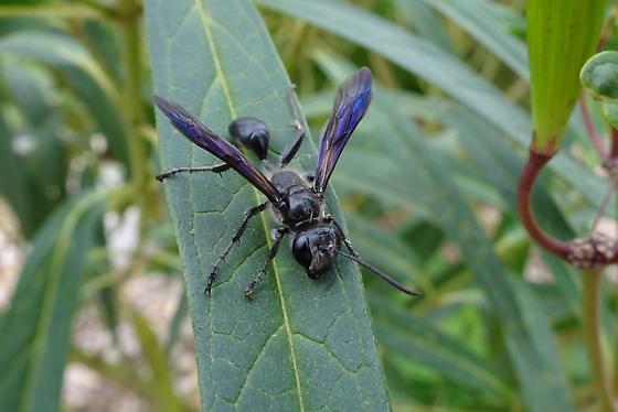 Blue Mud Dauber-ish, but different - Isodontia mexicana - female