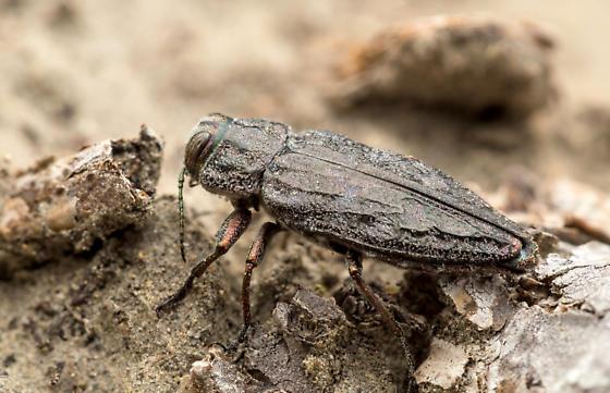 Buprestid beetle - Chrysobothris