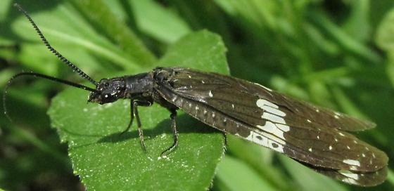 corydalid - Nigronia serricornis
