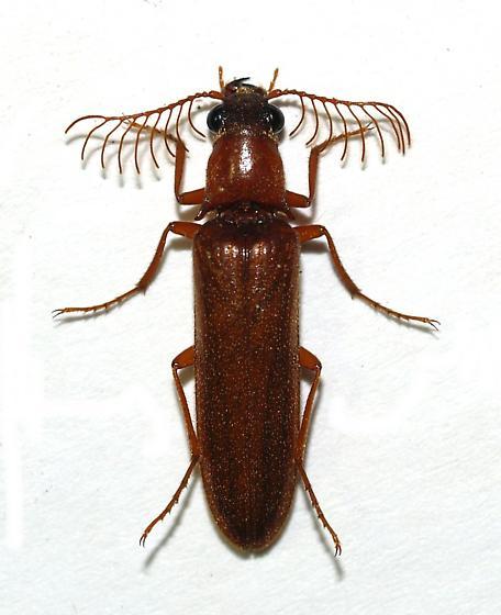 Elateridae - Euthysanius