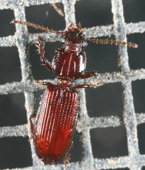 Carabid - Schizogenius
