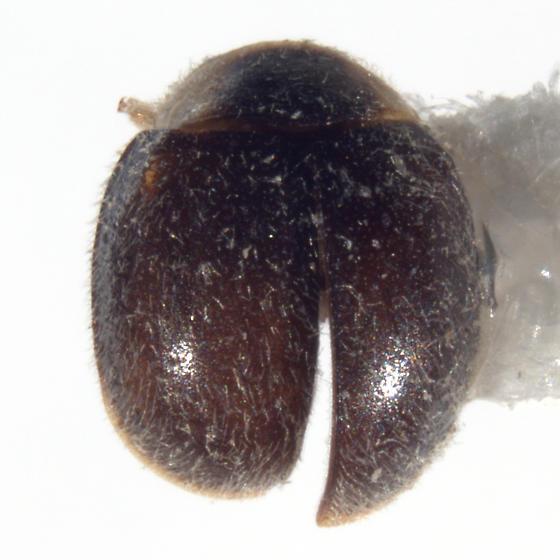 Diomus texanus Gordon - Diomus texanus - male