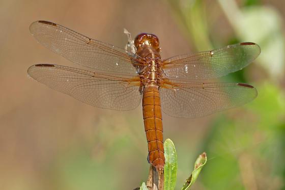 Neon Skimmer, female - Libellula croceipennis - female
