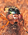 fly - Physiphora