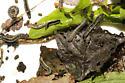Yellow-striped Armyworm, larvae, very messy  - Spodoptera ornithogalli