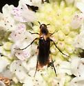Ripiphoridae, dorsal - Macrosiagon limbata - female