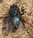 metallic blue fly - Cynomya cadaverina