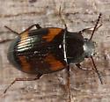 black beetle with orangish markings - Phaleromela variegata