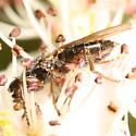 Chokeberry fly - Coelopa frigida