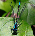 Exclamation Damsels in City of Santa Cruz - Zoniagrion exclamationis