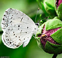 Perched on a bud - Celastrina neglecta