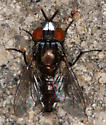 Metal Faced Fly! - Metopia argyrocephala - male