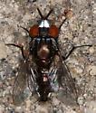 Metal Faced Fly! - Metopia argyrocephala - male