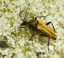 Beetle at Coyote Wall - Lepturobosca chrysocoma
