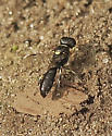 Another Tiny Wasp/Bee - Crossocerus