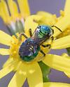 Beautiful green bee - Augochloropsis