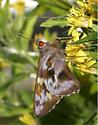 Green-backed Ruby-eye - Perichares adela