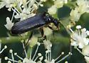 Black beetle - Pidonia ruficollis
