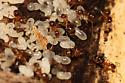 false honey?? - Nylanderia flavipes