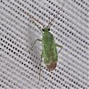 Orthotylus flavosparsus - Plant Bug