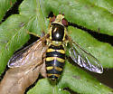 Syrphid with it's head looking up. - Epistrophella emarginata